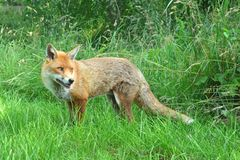Cunning fox. A cunning and surprised wild fox Royalty Free Stock Image