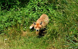 Cunning fox. Walking through a woodland Royalty Free Stock Photography