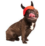 Cunning french bulldog in a  helmet with horning. Cunning french bulldog in a red helmet with horning isolated on white Stock Photos