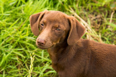 Cunning happy muzzle of a dachshund on a background of green grass Royalty Free Stock Photos