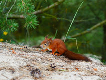 Cunning look squirrel on natural forest backfround Stock Image