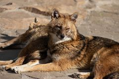Cunning and quick-witted Golden Jackal loves sweets and pheasants. The cunning and quick-witted Golden Jackal loves sweets and pheasants are easily tamed royalty free stock photo