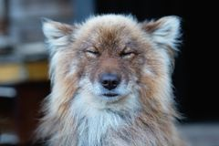 Cunning red dog closes his eyes and squintes from the sun. Rest on the open air Stock Photography
