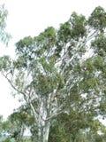 Cunningham del lago tree Fotografía de archivo libre de regalías
