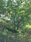 Cunningham del lago tree Foto de archivo libre de regalías