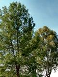 Cunningham del lago tree Foto de archivo