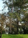 Cunningham del lago tree Imagen de archivo