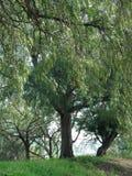 Cunningham del lago tree Imágenes de archivo libres de regalías