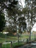 Cunningham del lago tree Fotos de archivo