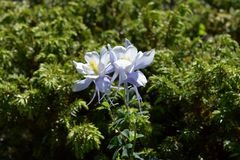 Cunningham Gulch Columbine Flowers Immagini Stock
