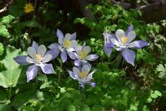 Cunningham Gulch Columbine Flowers stock images