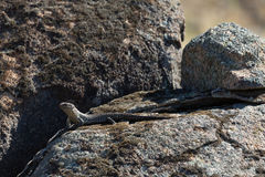 Cunninghams Skink Stock Photography