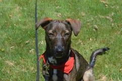 Cunucu hund med hans stängda sammanträde för ögon i gräs Fotografering för Bildbyråer