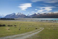 Cuoco del supporto e dell'allevamento di pecore Immagine Stock Libera da Diritti