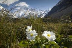 Cuoco di Mt con il giglio o i ranuncoli, parco nazionale, Nuova Zelanda Fotografie Stock Libere da Diritti
