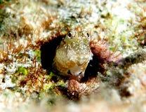 Cuoco Islands del Blenny Fotografie Stock Libere da Diritti