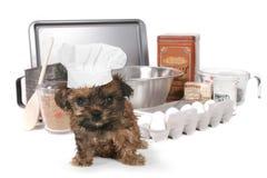 Cuoco unico sveglio With Hat dell'Yorkshire terrier Immagini Stock