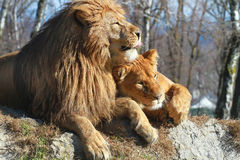 cuople狮子 图库摄影