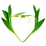 Cuore dai tulipani bianchi Immagini Stock