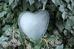 Cuore del ghiaccio nell'edera fotografia stock