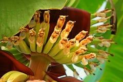 Cuore della banana, fiori della banana messi Fotografia Stock Libera da Diritti