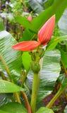 Cuore della banana - vicino su del fiore del banano - Musa Acuminata Immagini Stock Libere da Diritti