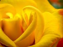 Cuore della rosa di giallo Immagini Stock