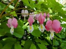 Cuore di emorragia Piccoli fiori rosa nel primo piano im del giardino di primavera Immagini Stock Libere da Diritti