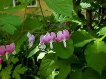 Cuore di emorragia Piccoli fiori rosa nel primo piano im del giardino di primavera Immagini Stock
