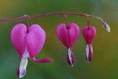 Cuore di emorragia rosa Fotografia Stock