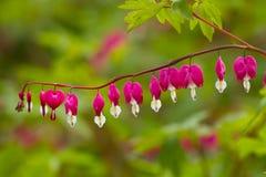 Cuore di emorragia vistoso rosa di cristallo Fotografie Stock