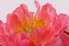 Cuore di una peonia rosa Immagine Stock