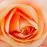 Cuore di una rosa, macro Immagini Stock Libere da Diritti