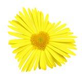 Cuore giallo della margherita Immagine Stock