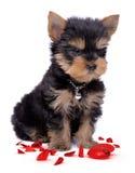 Cuore rotto del puppie del terrier di Yorkshire Fotografia Stock Libera da Diritti