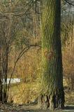 Cuore sull'albero Immagini Stock Libere da Diritti
