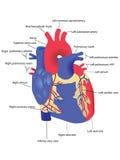 Cuore umano Immagini Stock