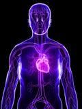Cuore umano Immagine Stock Libera da Diritti