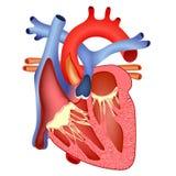 Cuore umano medico illustrazione di stock