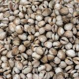 Cuori edule freschi al mercato asiatico dei frutti di mare Fotografia Stock