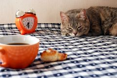 Cup of coffee and cat. Morning - alarm clock, cup of coffee and drowsiness cat on blue and white gingham tablecloth Royalty Free Stock Photography