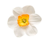 Cup daffodil Stock Images