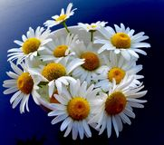 Cup of daisies Stock Photography