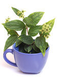 Cup of jasmine Stock Image