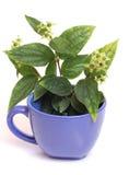 Cup of jasmine Stock Image