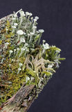 Cup lichen Stock Photography