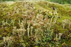 Cup lichen Stock Photo