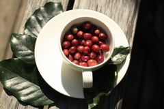 Cup of red Arabica coffee beans. White coffee cup full of raw red freshly picked coffee beans on a white timber table Stock Photos