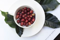 Cup of red Arabica coffee beans. White coffee cup full of raw red freshly picked coffee beans on a white timber table Royalty Free Stock Photography
