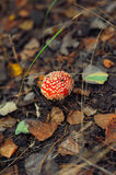 Cup of red toadstool Royalty Free Stock Photo